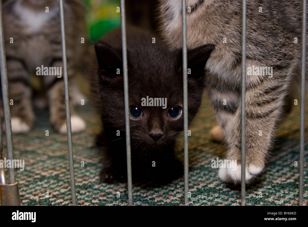 Young homeless black kitten in animal shelter with other cats - Stock Image