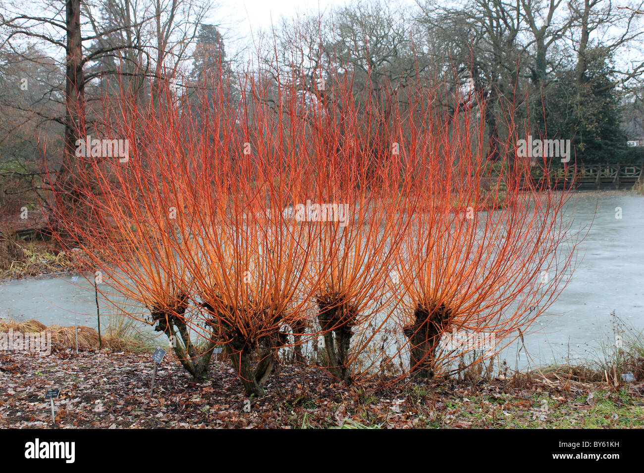 Colourful willow stems by the frozen lake in Seven Acres, RHS Garden Wisley, Surrey, England, Great Britain, UK, - Stock Image
