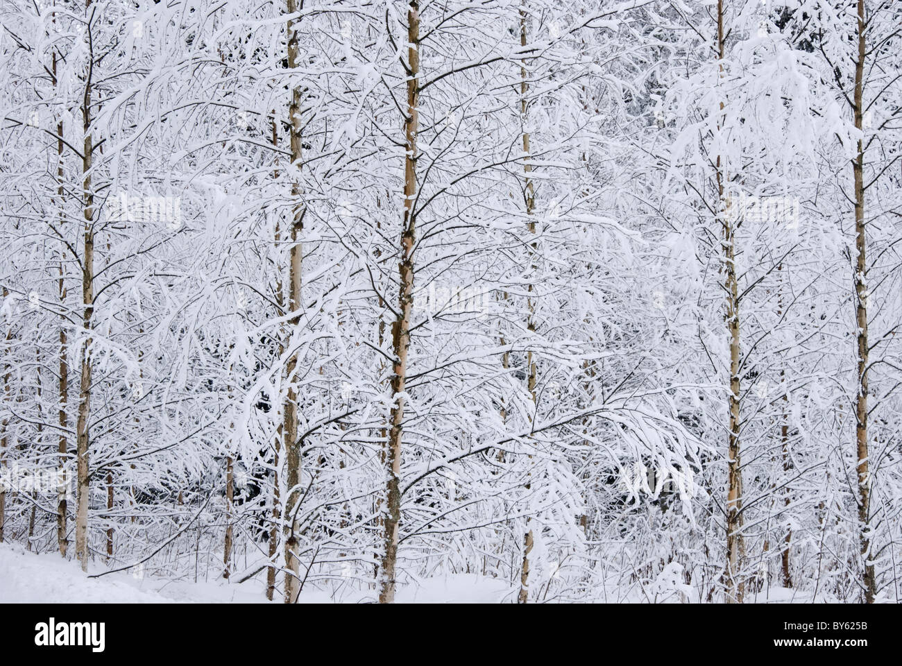 Frost Covered Birch Trees in Snowy Hollola Finland Stock Photo