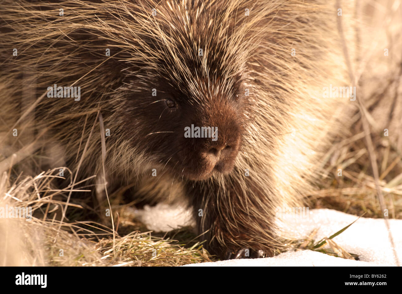 Stock photo of a North American porcupine walking across the grass in the winter. Stock Photo