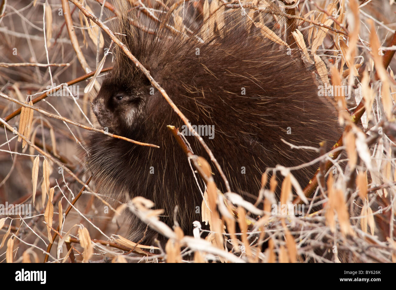 Stock photo of a North American porcupine resting in a tree. Stock Photo