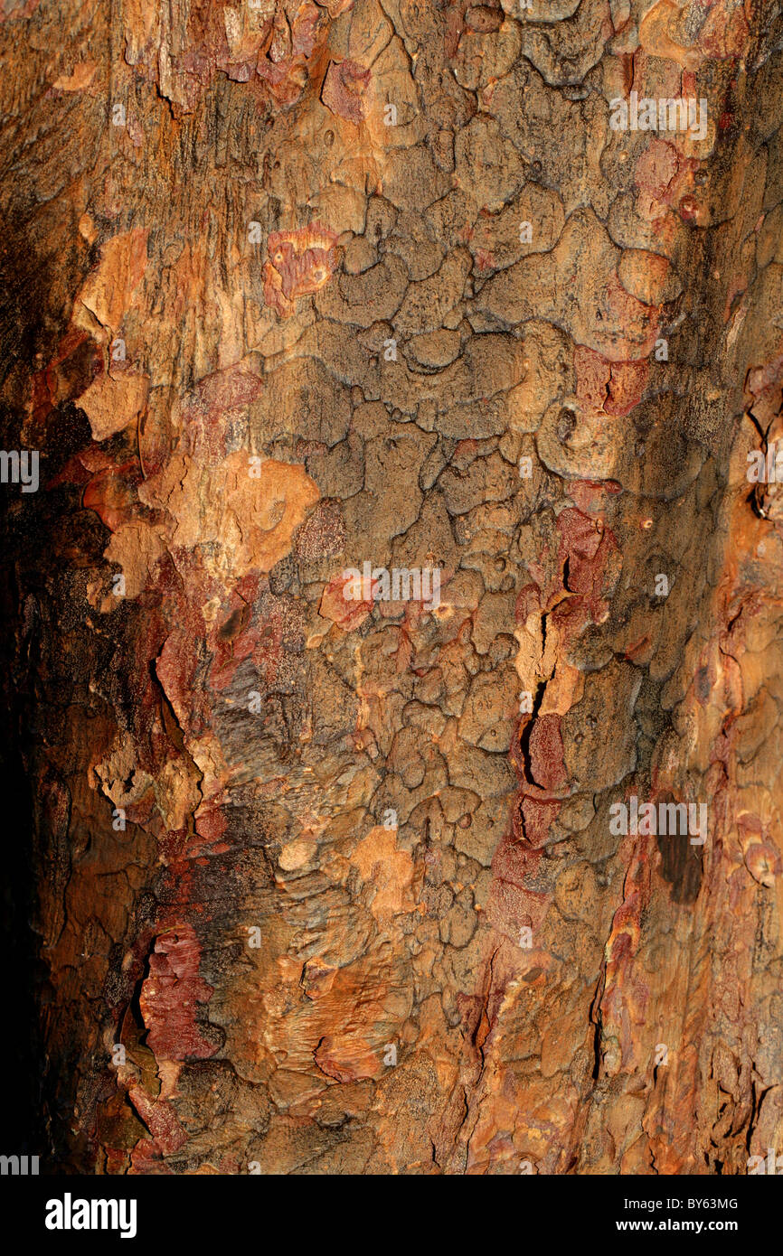 Trunk and Bark of the Paper Bark Maple, Acer griseum, Aceraceae, Southern and Central China. - Stock Image