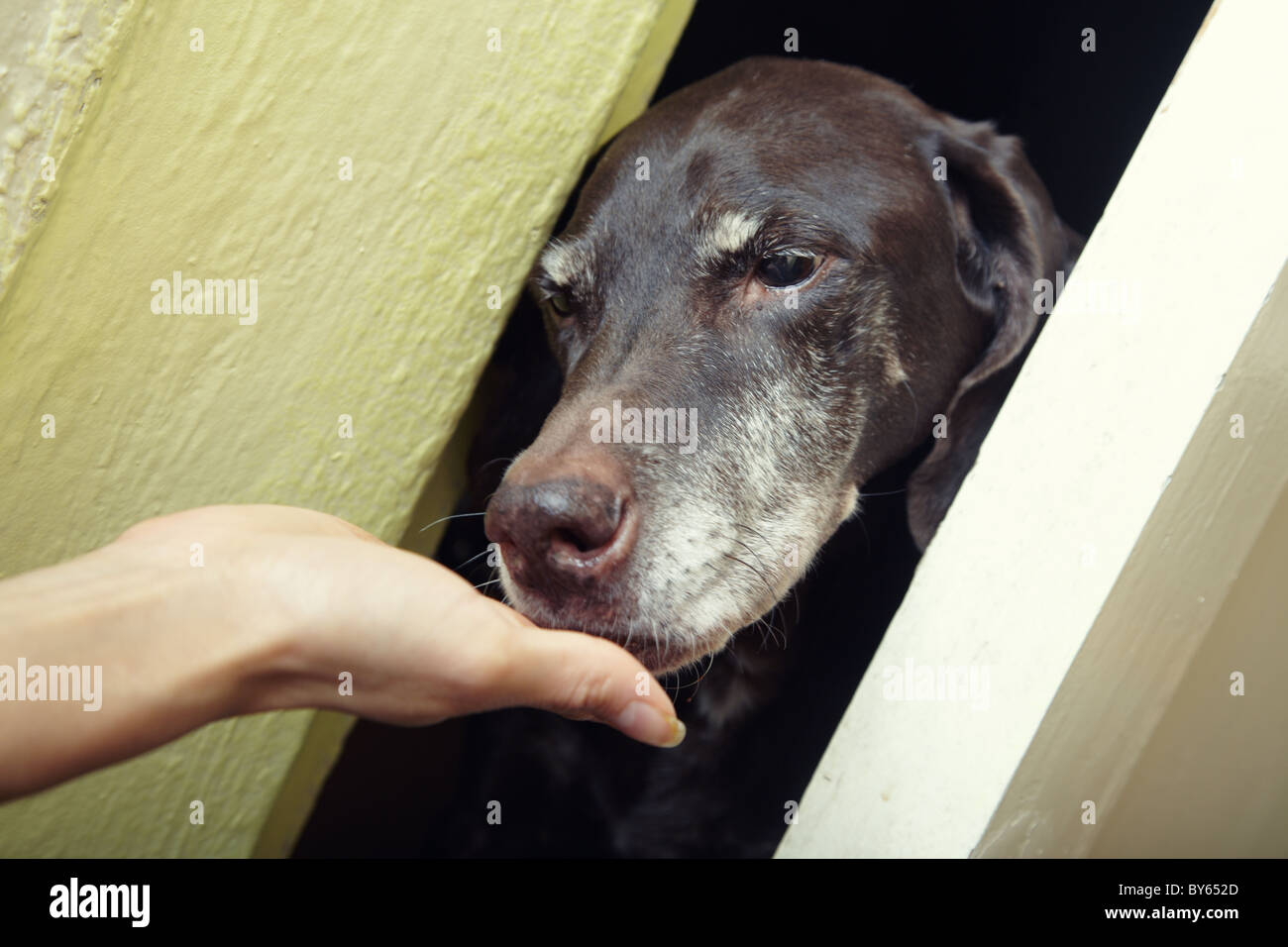 Dog eating from the human hand indoors. Natural light and colors - Stock Image