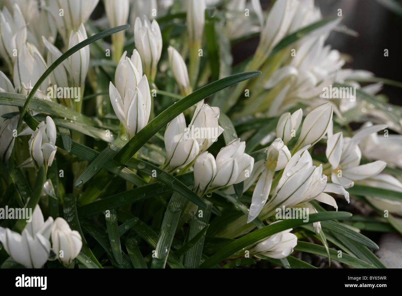 Starflower, Ipheion sessile, Liliaceae, Chile and Uruguay, South America. Syn. Tristagma sessile. Stock Photo