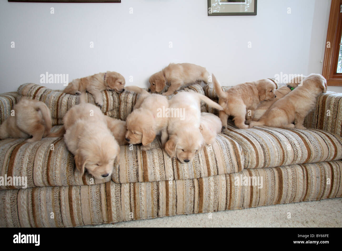 large group of golden retriever puppies playing on sofa - Stock Image