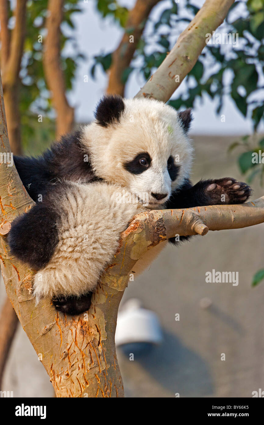 Young Giant Panda cub resting in tree at Chengdu Research Base of Giant Panda Breeding, China. JMH4384 - Stock Image