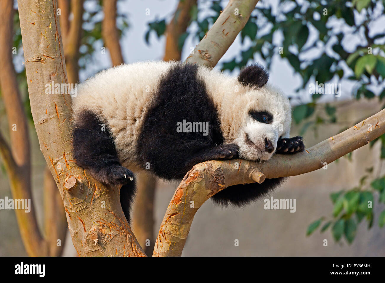 Young Giant Panda cub resting in tree at Chengdu Research Base of Giant Panda Breeding, China. JMH4385 - Stock Image