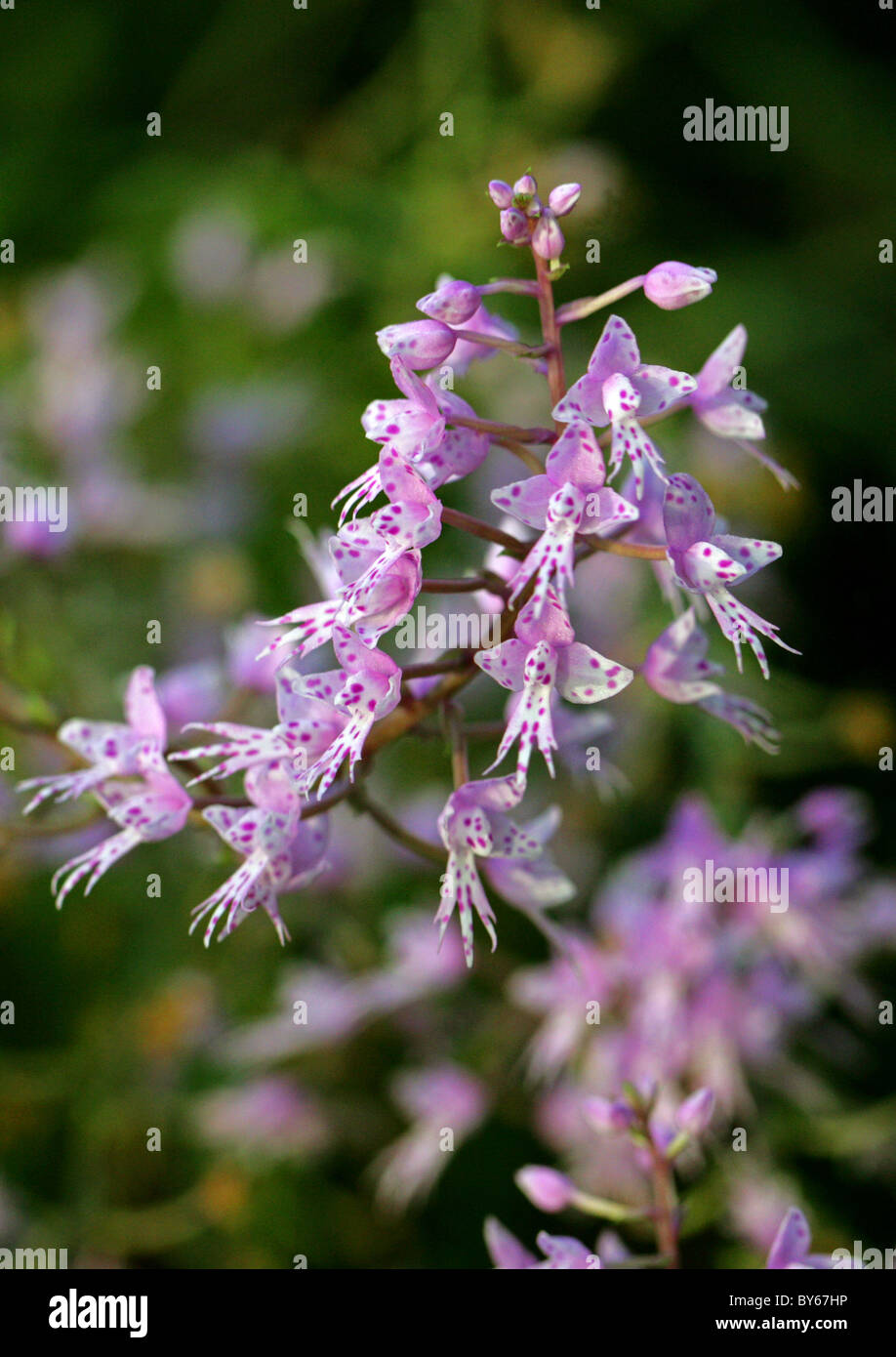 A Pink Spotted Orchid, Orchidaceae. - Stock Image
