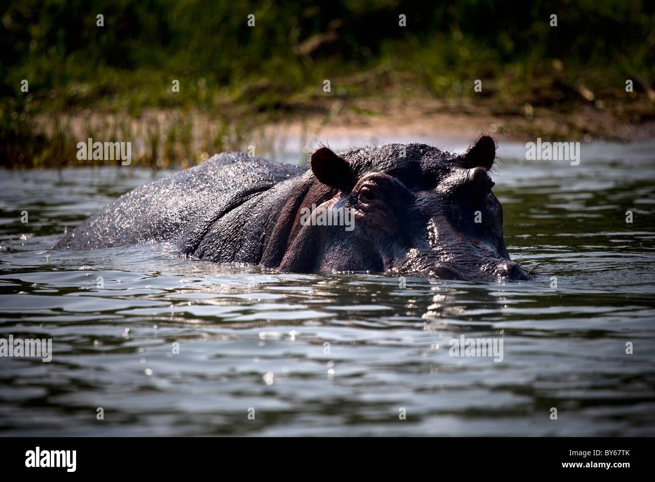 Hippopotamus, Kasinga Channel, Queen Elizabeth National Park, Uganda, East Africa - Stock Image