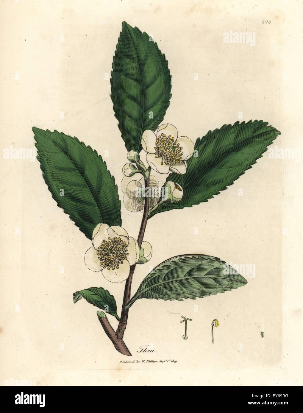 White flowers and green tea leaves thea bohea camellia sinensis white flowers and green tea leaves thea bohea camellia sinensis mightylinksfo