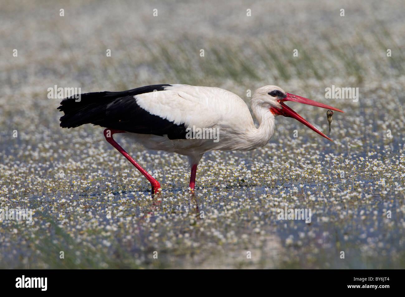 White Stork ( Ciconia ciconia) feeding Stock Photo
