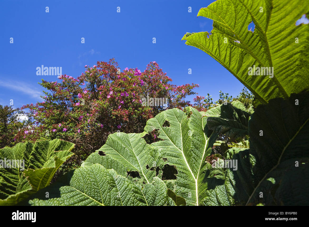 Gunnera and flowering bush in the mountainous rainforest of Volcano Poas National Park, Gunnera insignis, Costa - Stock Image