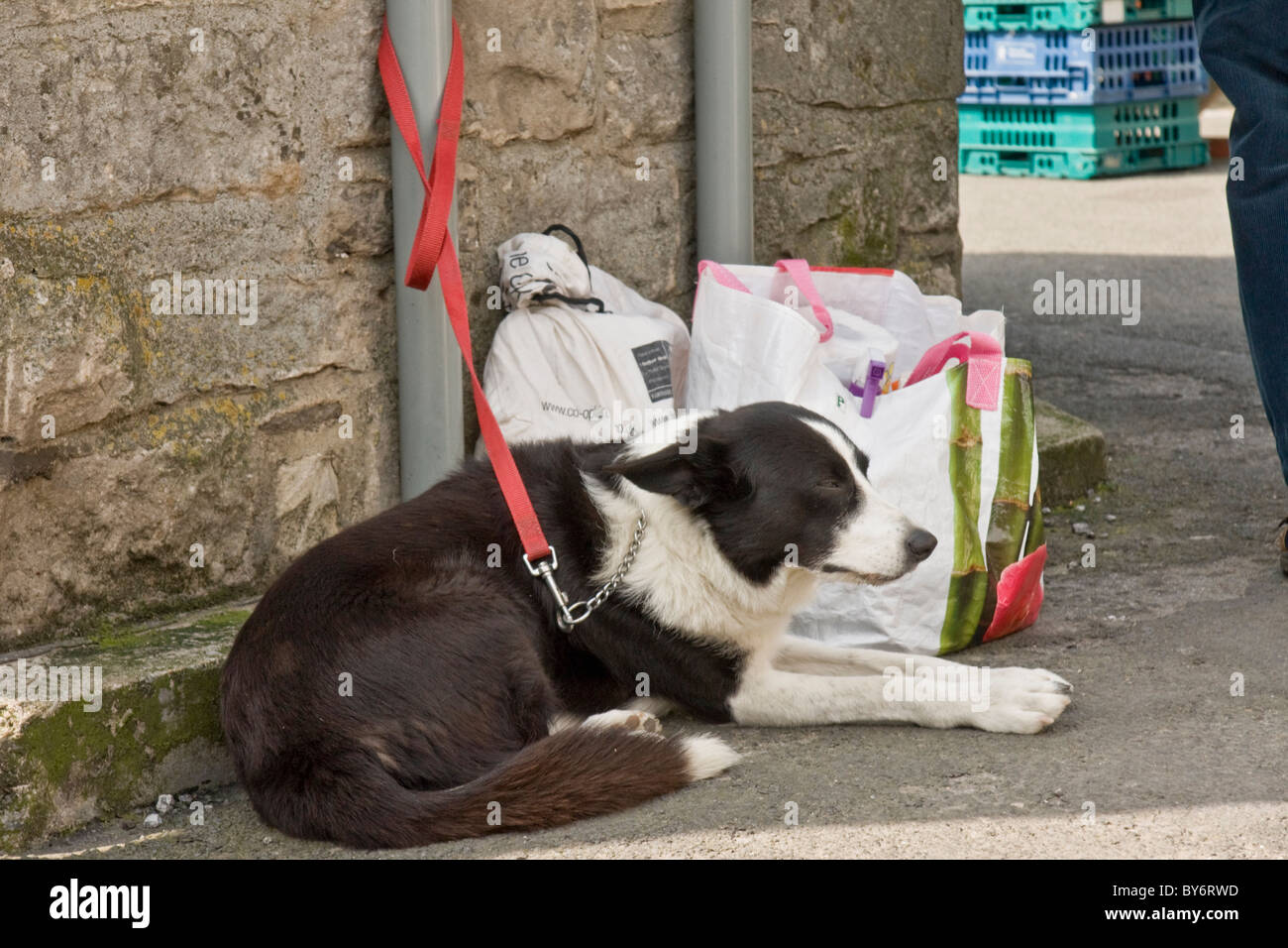 Border collie dog tied up outside the bus shelter in Leyburn Market Place, North Yorkshire. Dog is looking after - Stock Image