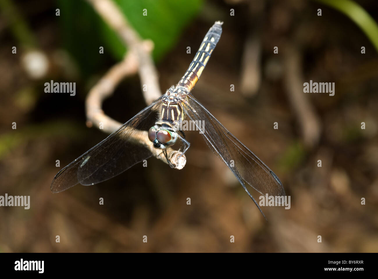 Dragonflies on branch, Female Blue Dasher - Stock Image