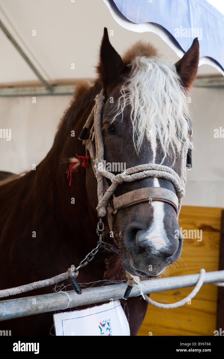 workhorse horse portrait Italy Europe - Stock Image