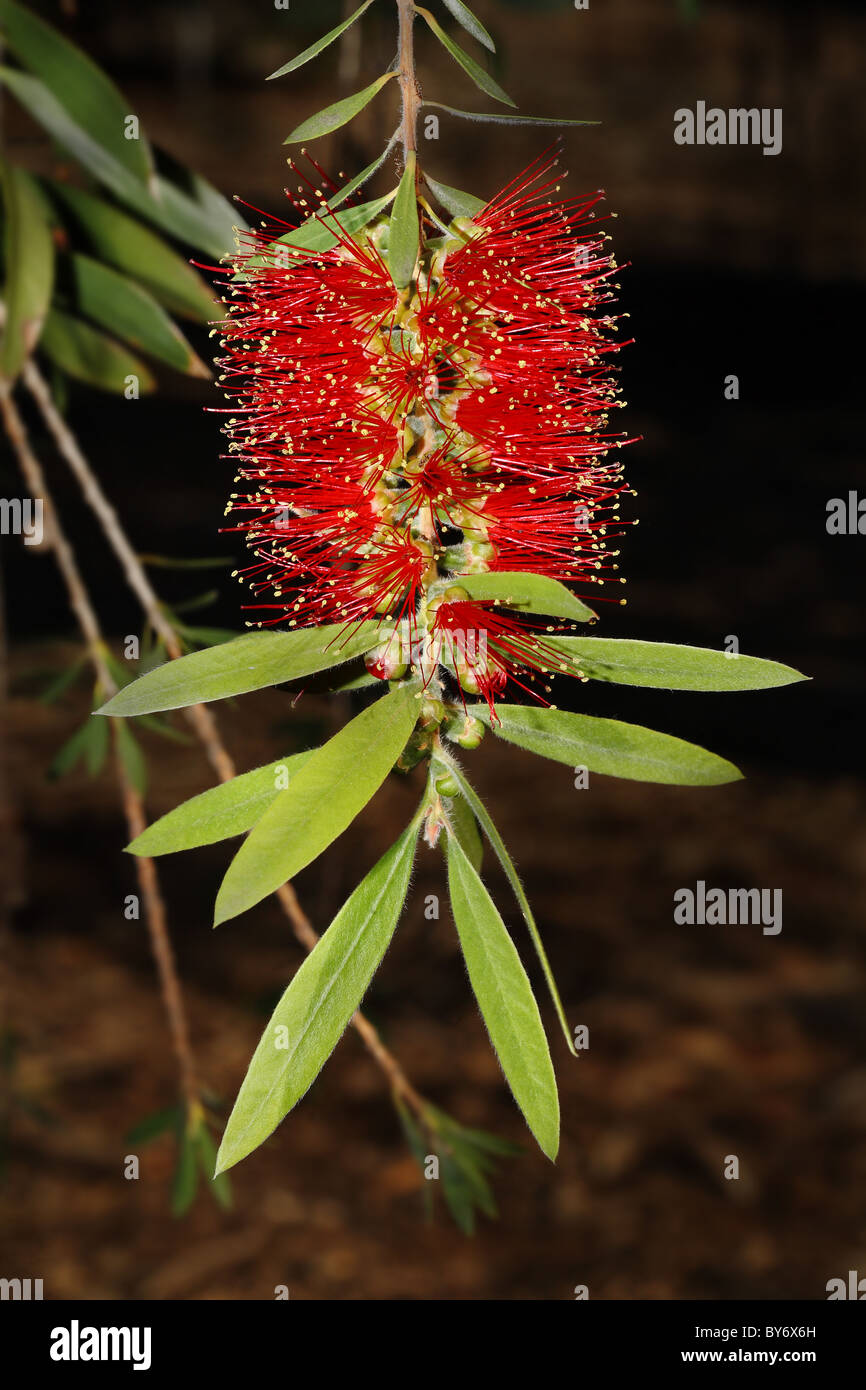 Callistemon Viminalis - Weeping Bottlebrush - Australian Myrtle - McCaskilll - Stock Image
