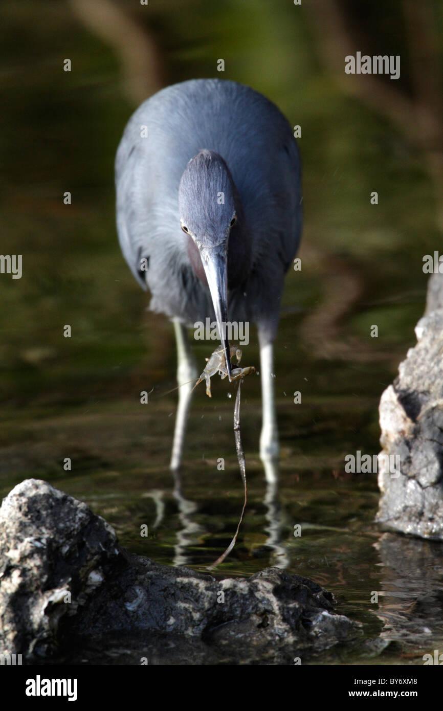 Little Blue Heron, Egretta caerulea, at J. N. 'Ding' Darling National Wildlife Refuge, Sanibel, Florida - Stock Image