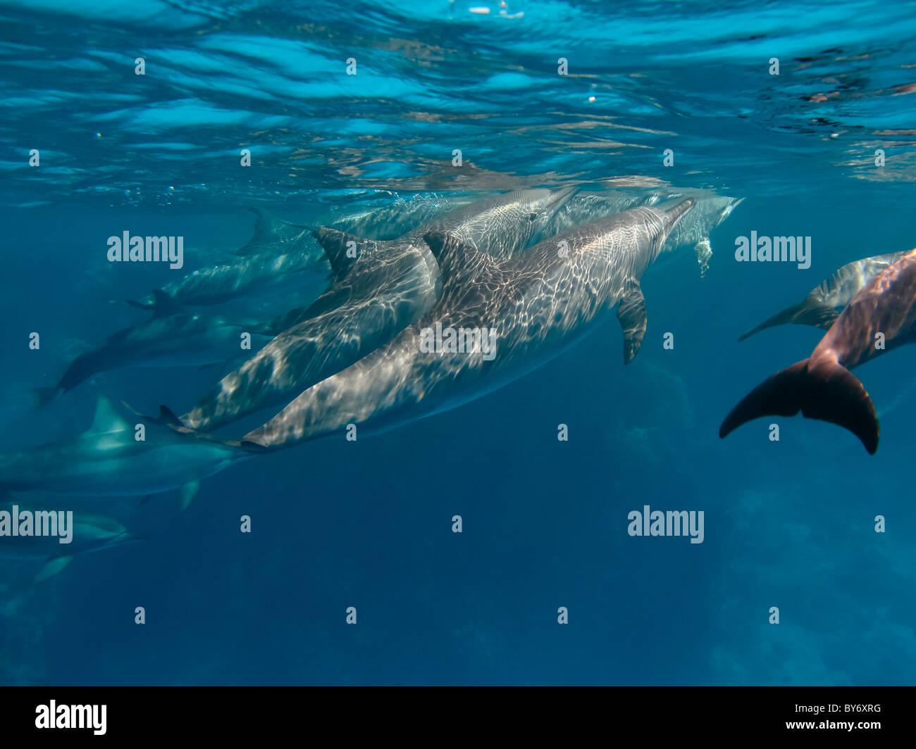 Spinner Dolphins, Stenella longirostris, Spinnerdelfine, milling at Shaab Marsa Alam, Egypt, underwater group - Stock Image