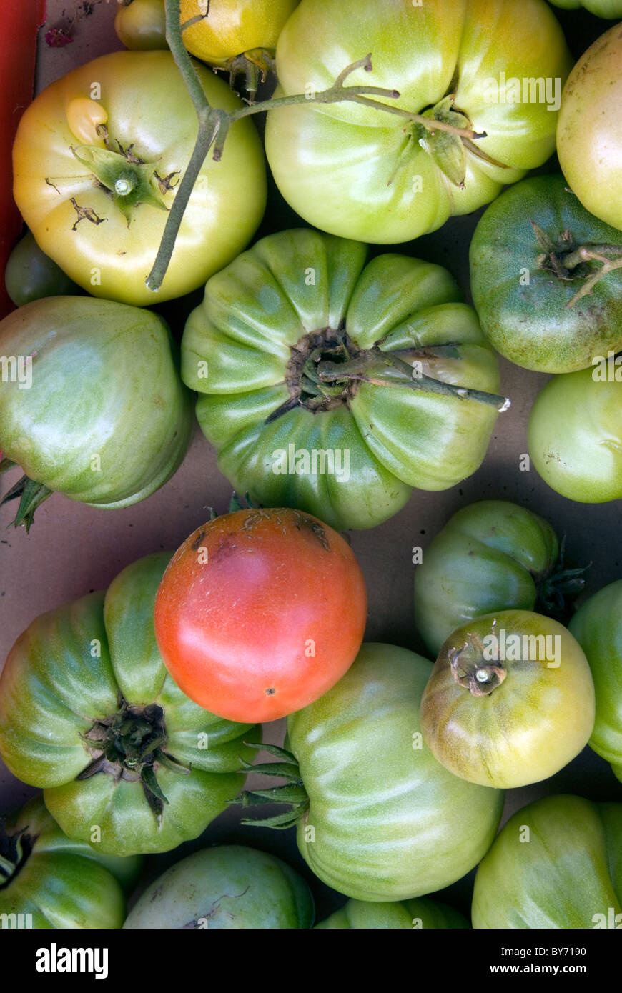 Fresh picked tomatoes from the garden, both ripe and unripened - Stock Image