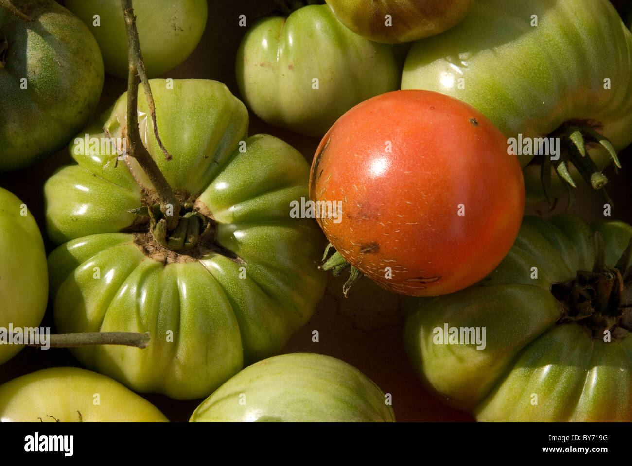 Unripened tomatoes picked early to allow them to ripen indoors - one ripe tomato is seen against the unripe tomatoes. - Stock Image