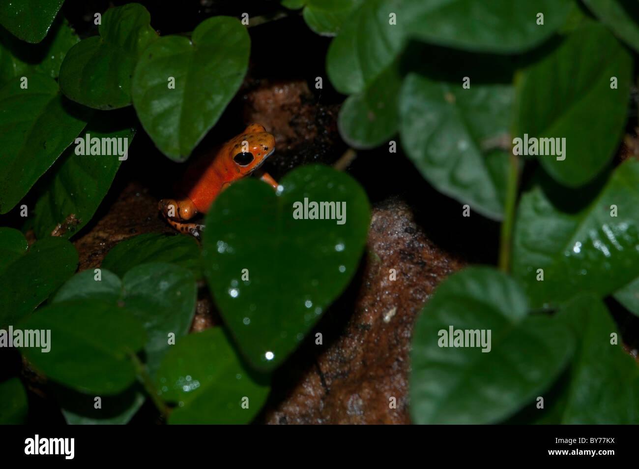 Strawberry poison dart frog. - Stock Image