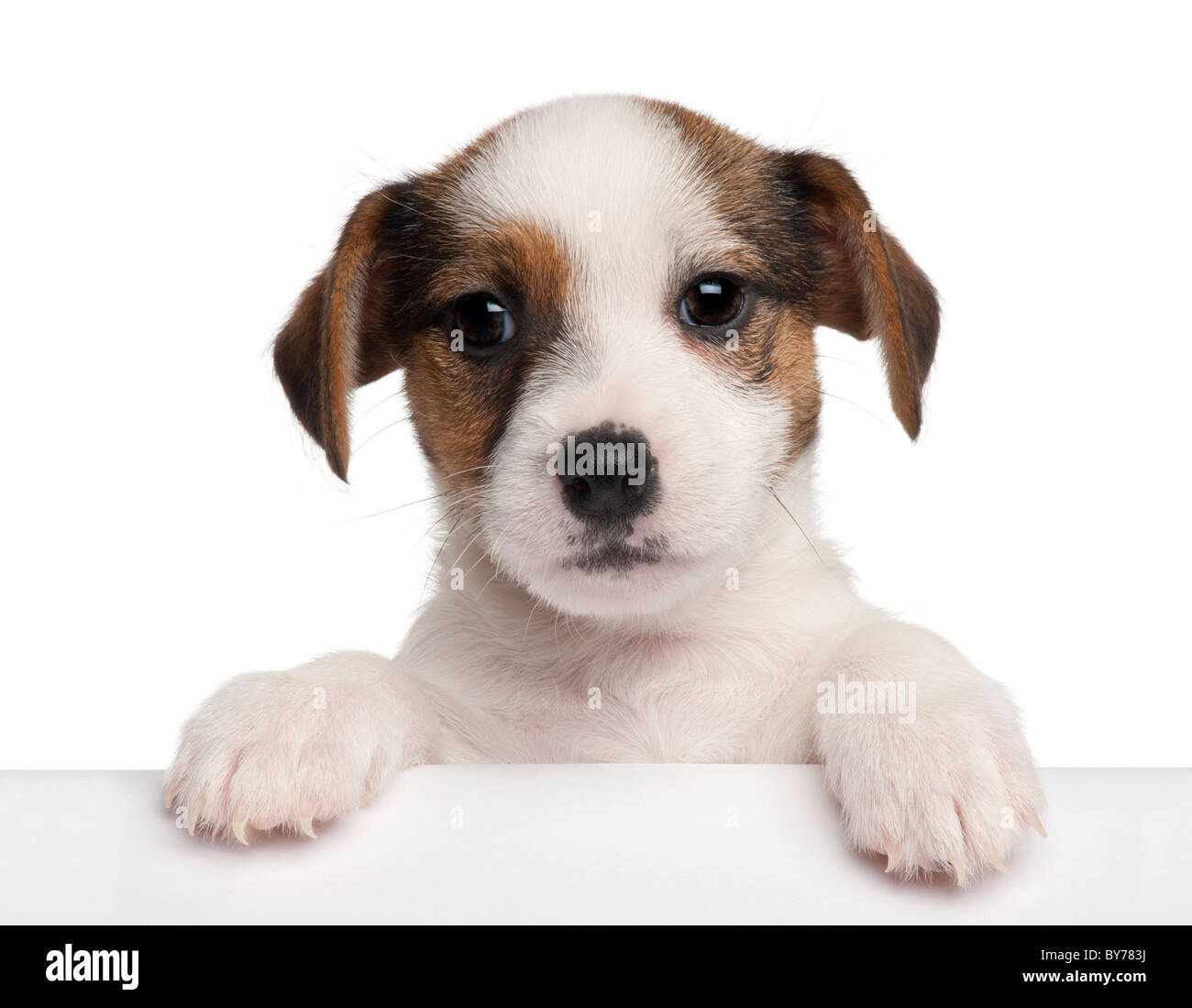 Jack Russell Terrier puppy, 2 months old, getting out of a box in front of white background - Stock Image