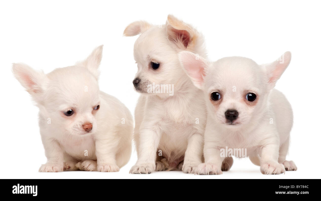 Three Chihuahua puppies, 2 months old, in front of white background Stock Photo