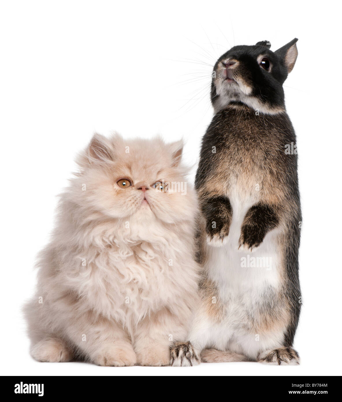 Young Persian cat and rabbit in front of white background - Stock Image