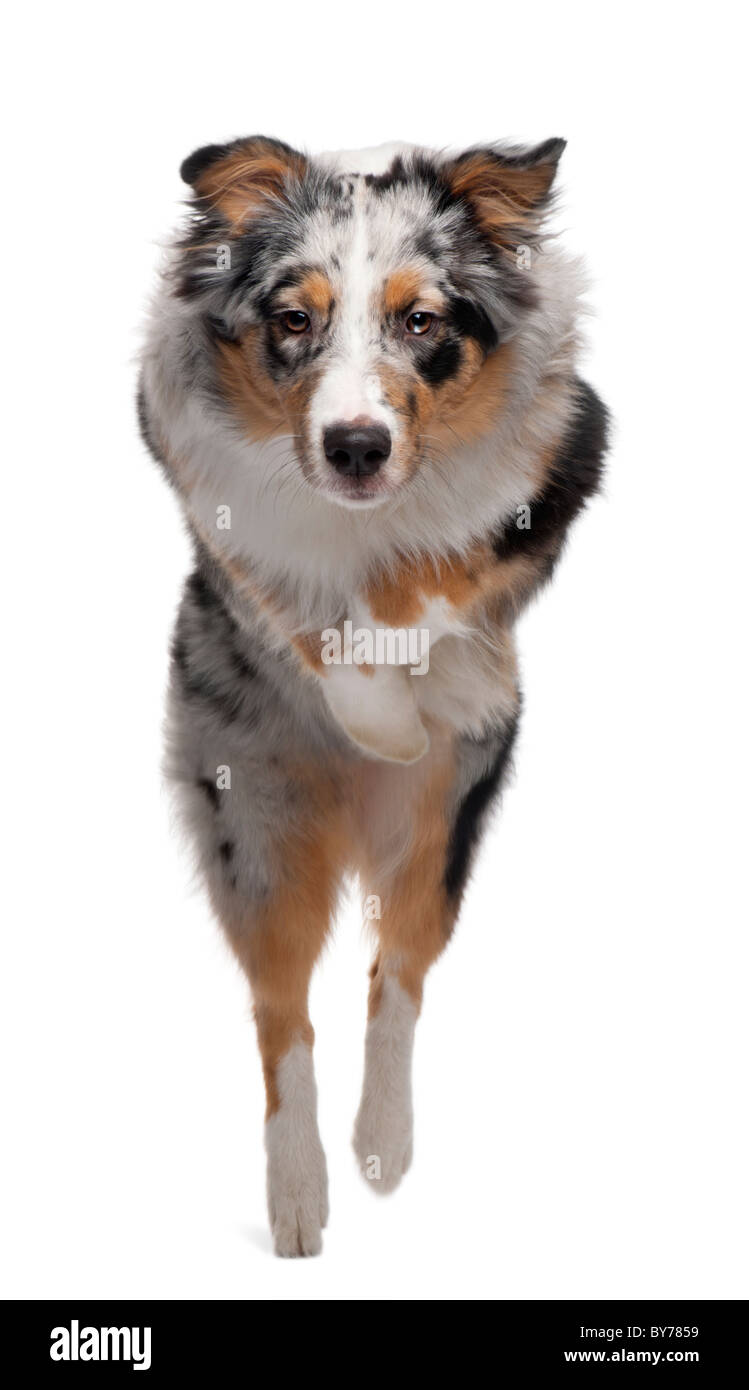 Australian Shepherd dog jumping, 7 months old, in front of white background - Stock Image