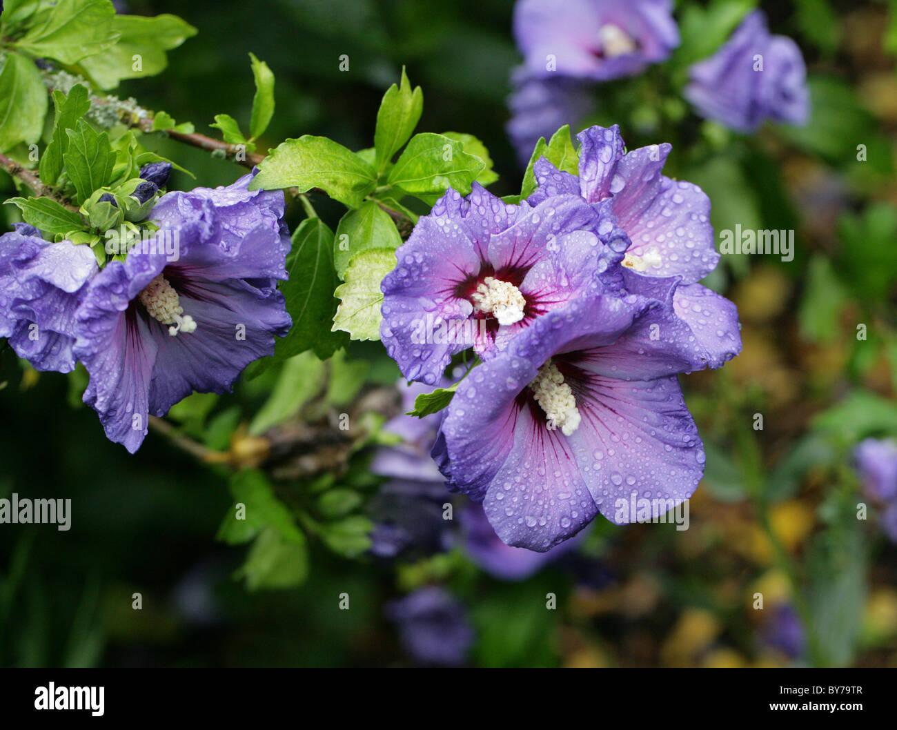 Blue Hibiscus Hibiscus Syriacus Blue Bird Malvaceae Asia Aka