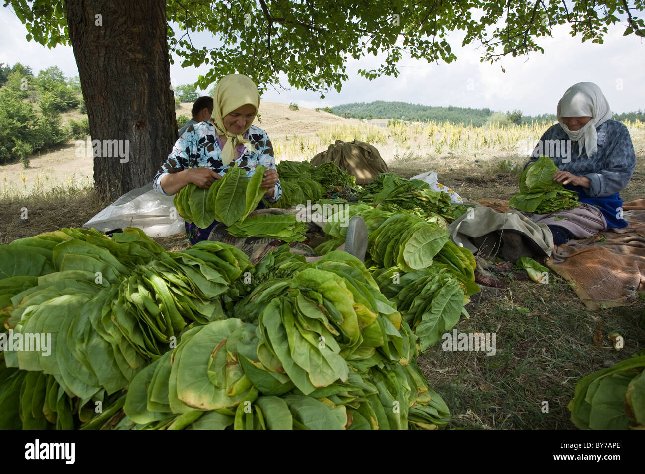 Tobacco leaves are strung up to dry, Dagonovo village, Balkans, Bulgaria - Stock Image