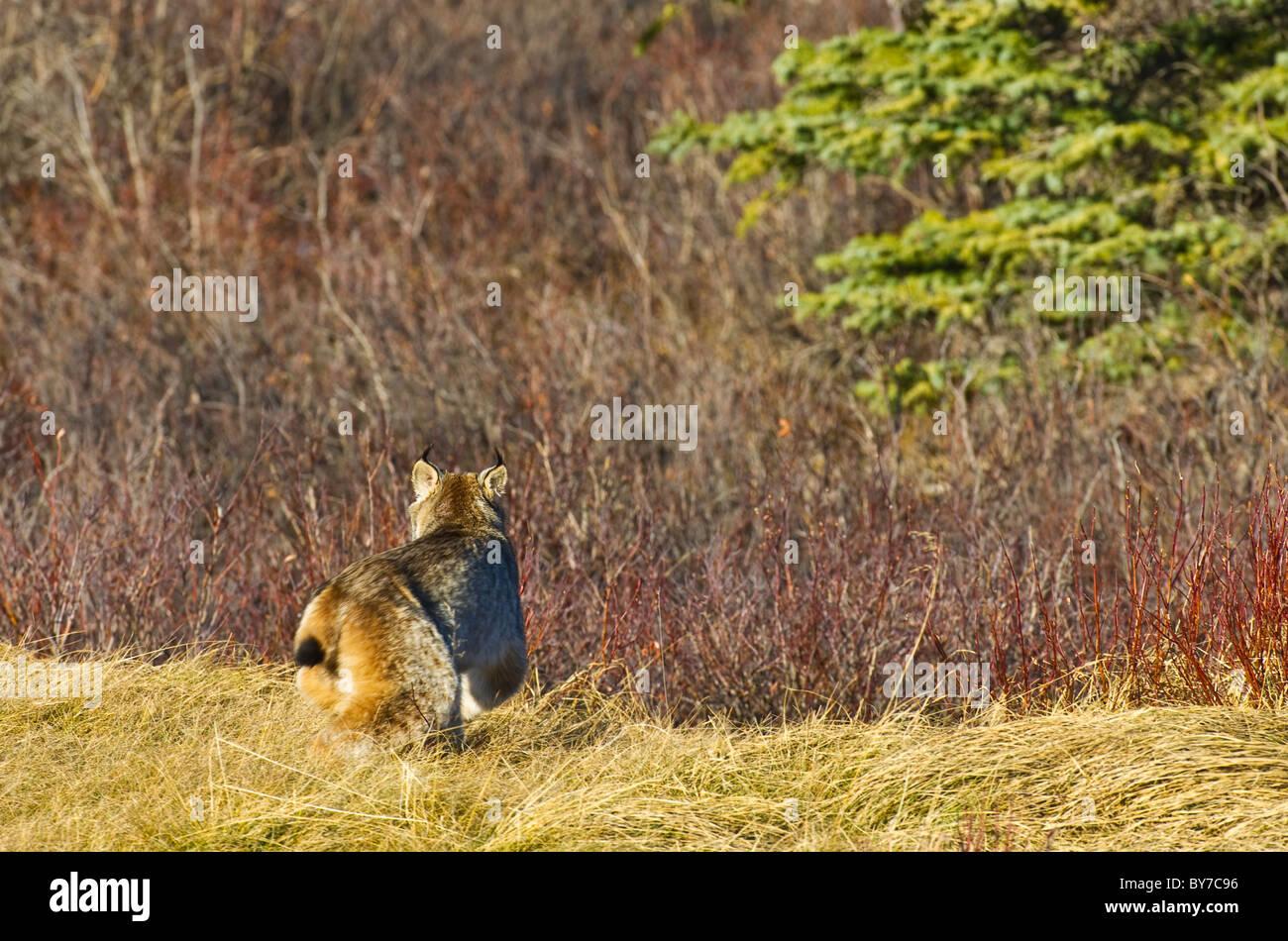 A Canadian lynx walking away. - Stock Image