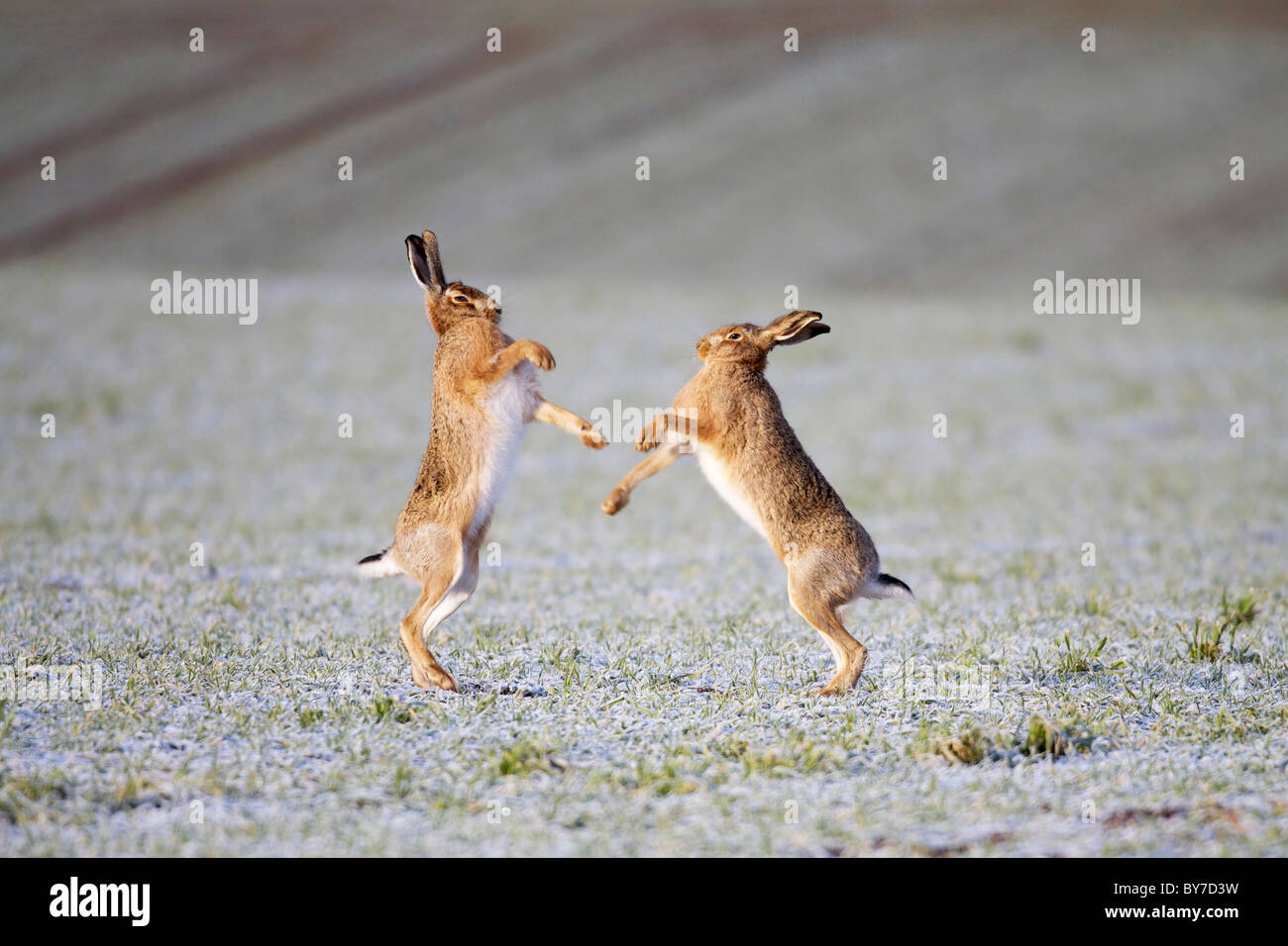 brown hares lepus europaeus boxing in frosty field - Stock Image