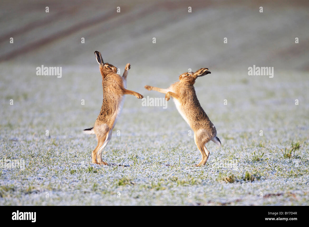 Brown Hares boxing in a frosty field - Stock Image