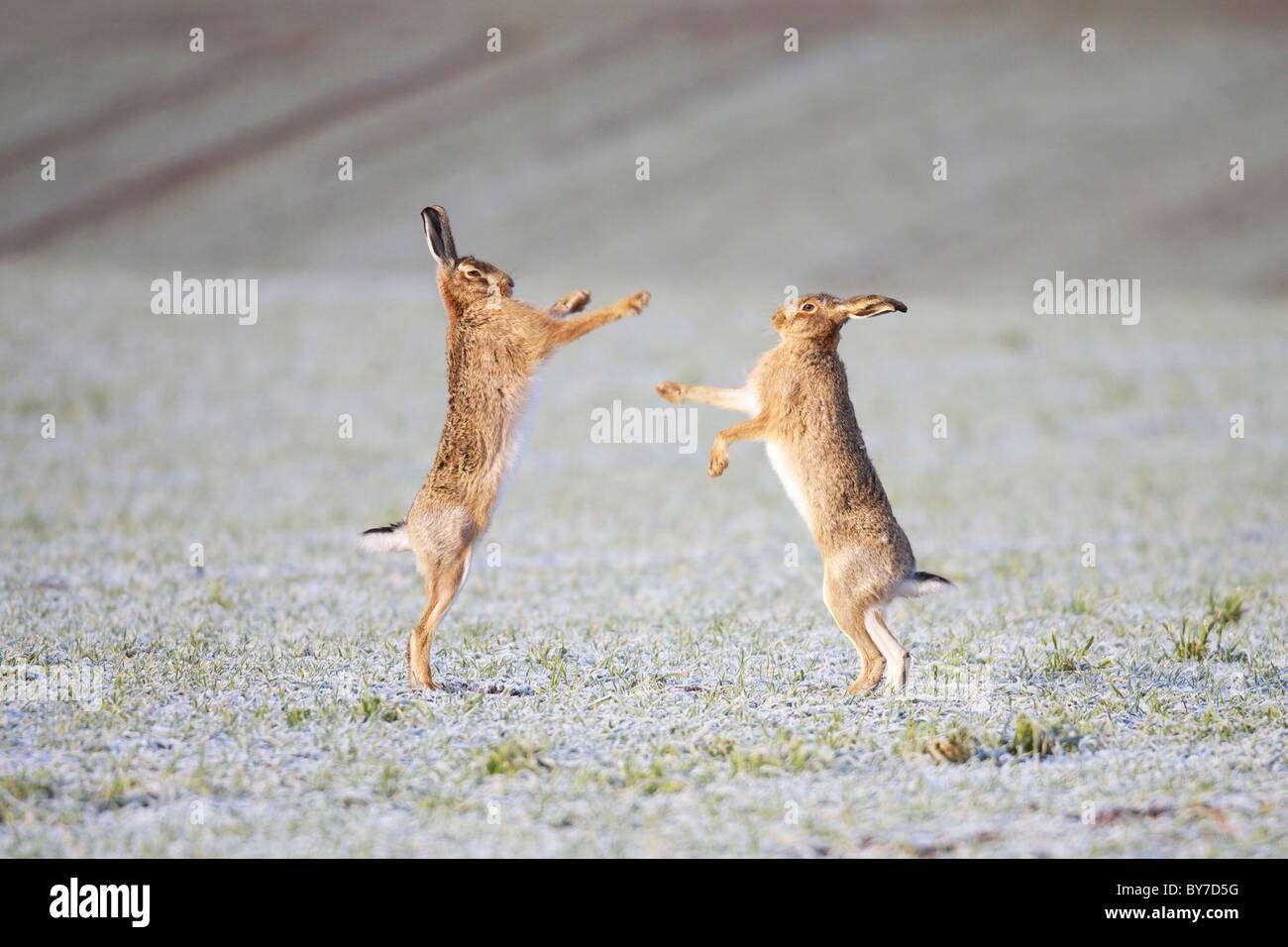 Brown Hares boxing - Stock Image