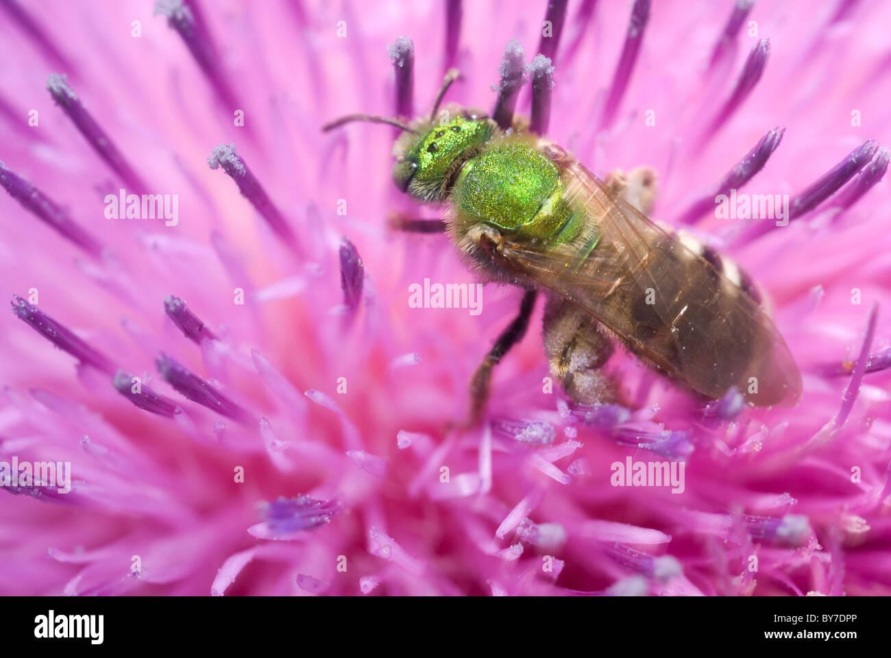 Virescent Green Metallic Bee (Agapostemon virescens) - Stock Image