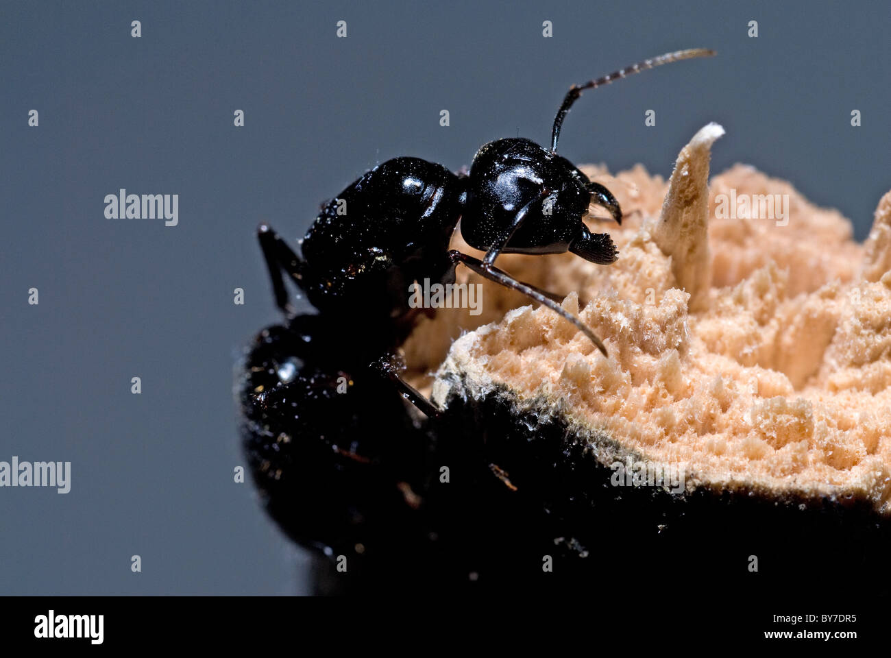 Black Carpender Ant (Camponotus pennslyvanicus) 1/4-1/2' (6-13 mm) - Stock Image