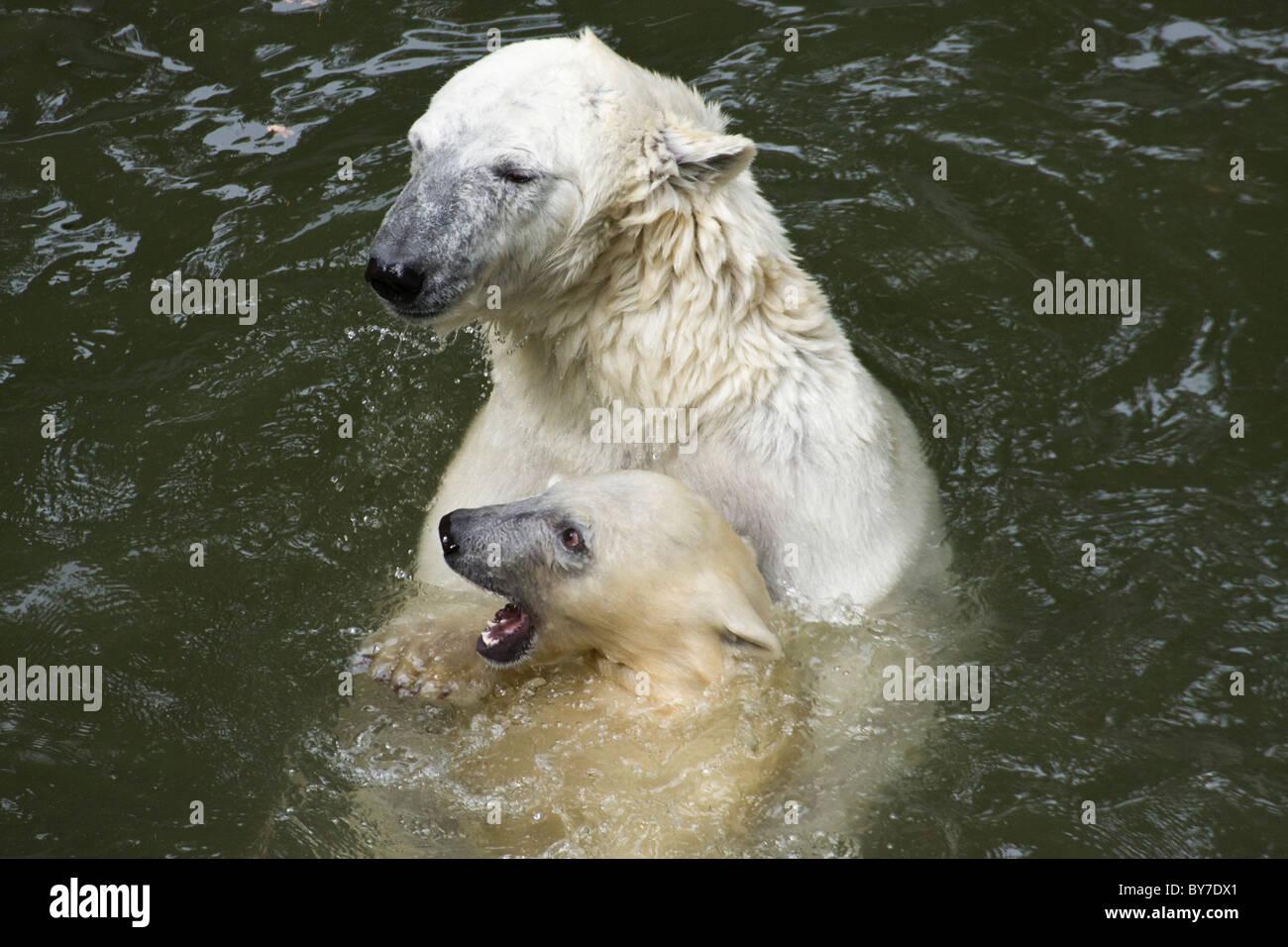 Polar Bear with kid (Ursus maritimus, Thalarctos maritimus) in water - Stock Image