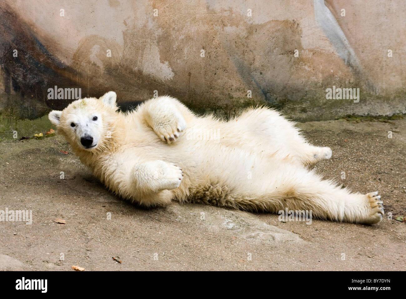 Kid of Polar Bear (Ursus maritimus, Thalarctos maritimus) - Stock Image