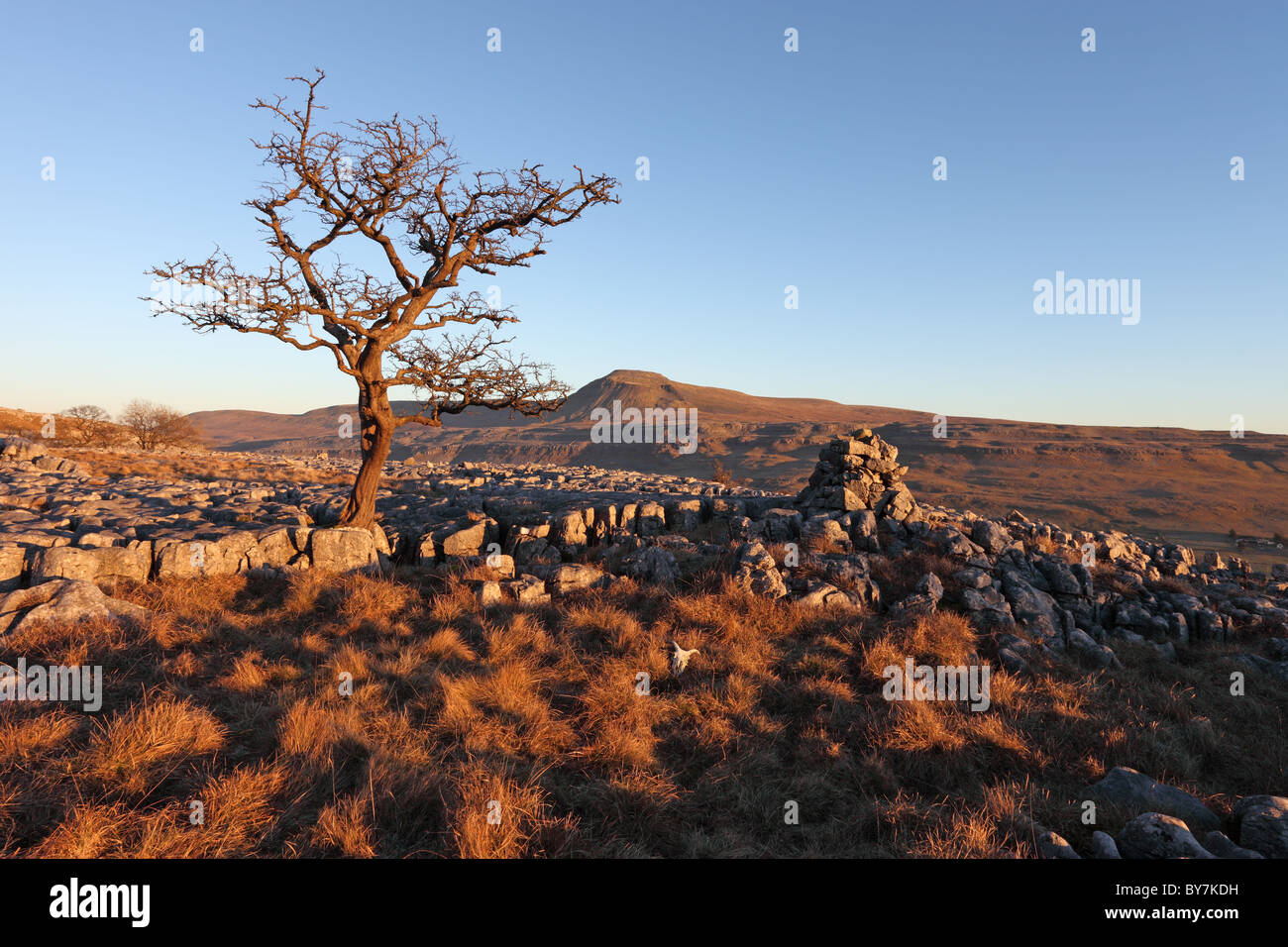 Hawthorn Tree and the Mountain of Ingleborough in Evening Light From Twistleton Scars Yorkshire Dales UK Stock Photo