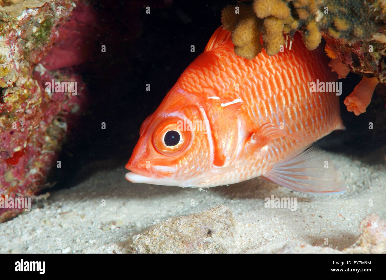 Long-jawed squirrelfish, Sabre squirrelfish, giant squirrelfish or spiny squirrelfish (Sargocentron spiniferum) - Stock Image
