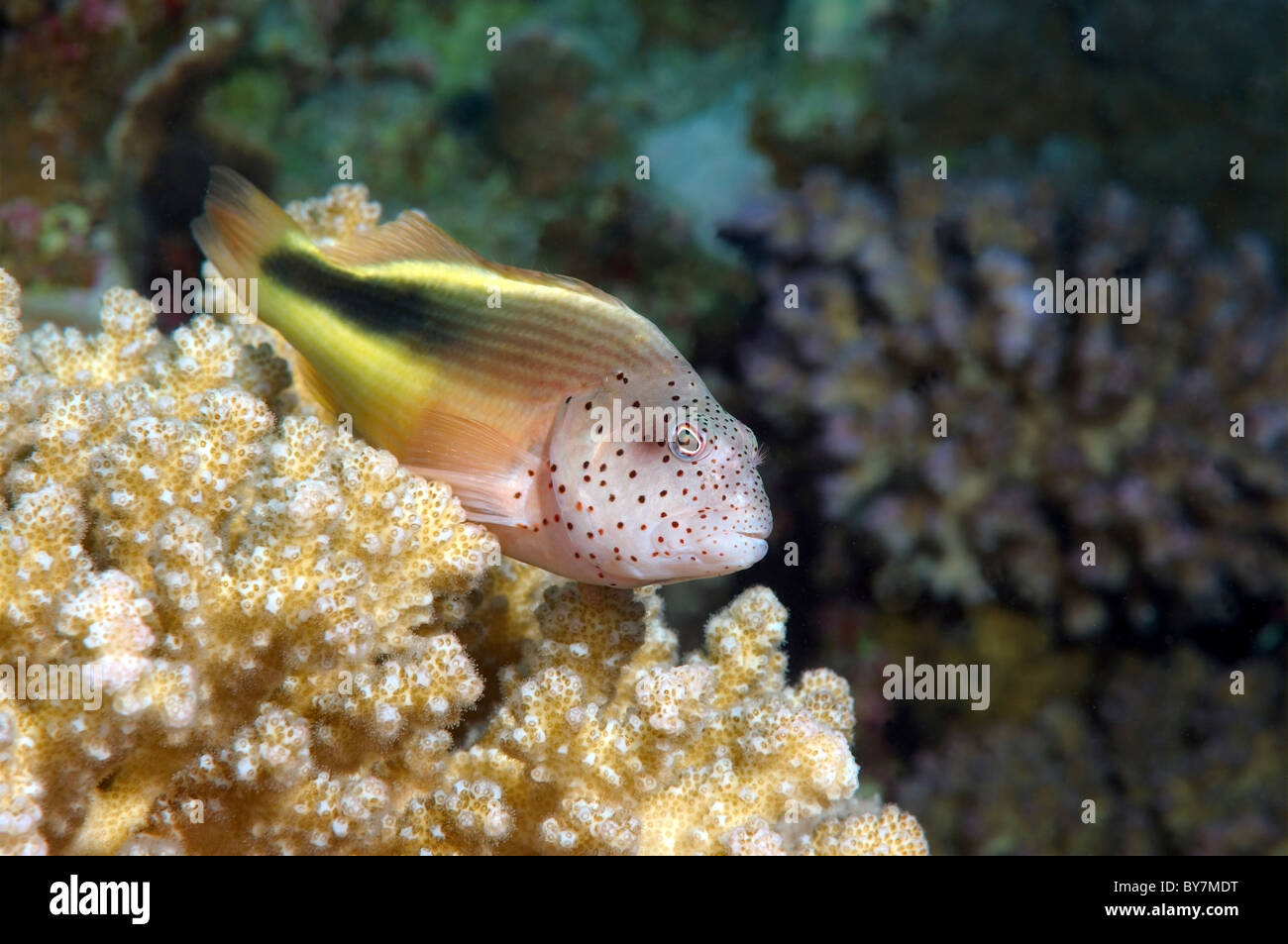 Perched freckled hawkfish or Black-sided hawkfish (Paracirrhites forsteri), Red Sea, Egypt, Africa - Stock Image