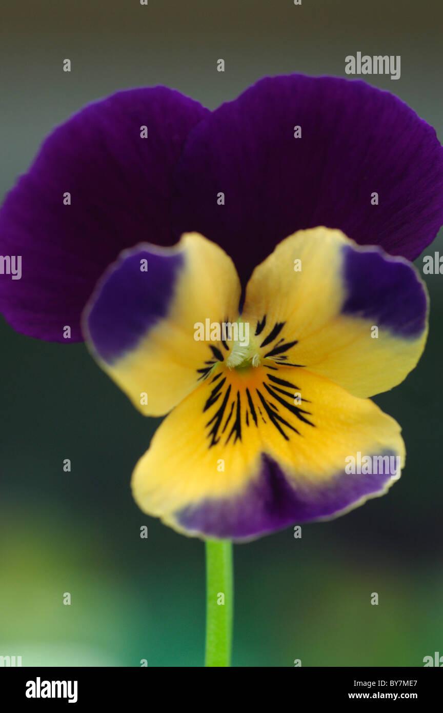 VIOLA SORBET ORANGE DUET - Stock Image