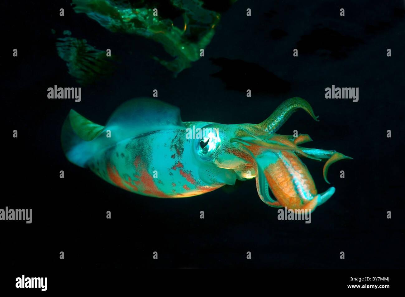 Bigfin reef squid (Sepioteuthis lessoniana) - Stock Image
