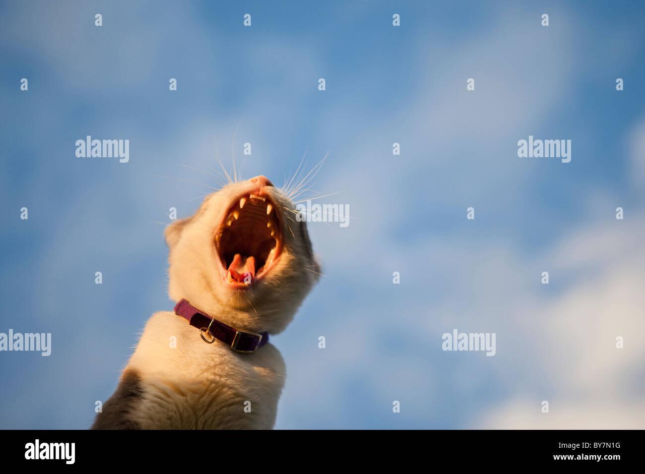 cat yawning - Stock Image
