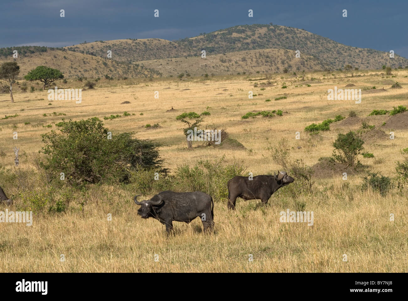 Cape Buffalo in the Mara - Stock Image