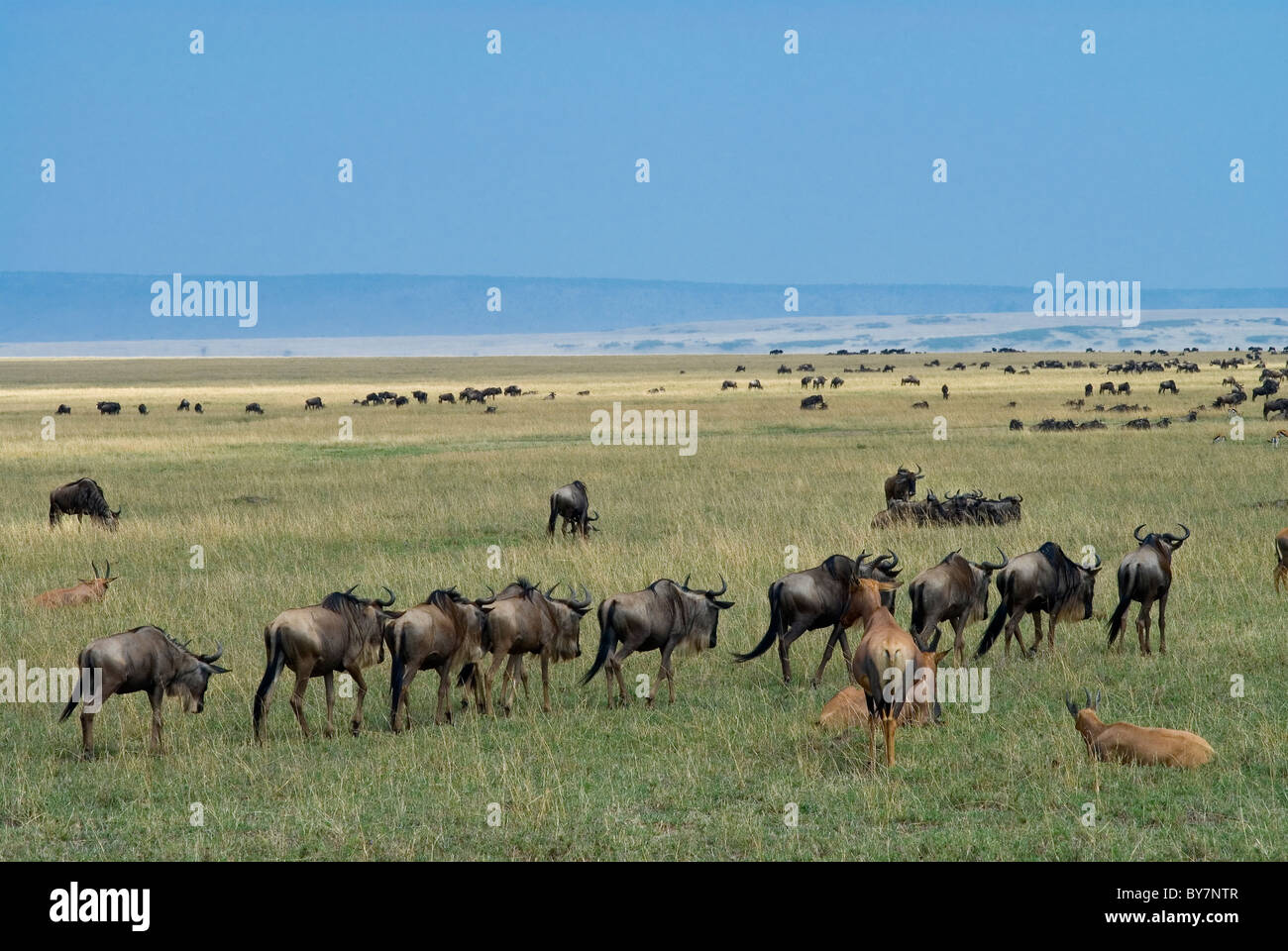 Wildebeest on the Masai Mara in Kenya - Stock Image