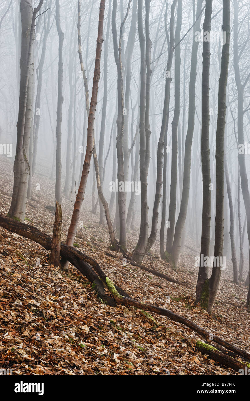 Sycamore woodland scene in foggy weather. - Stock Image