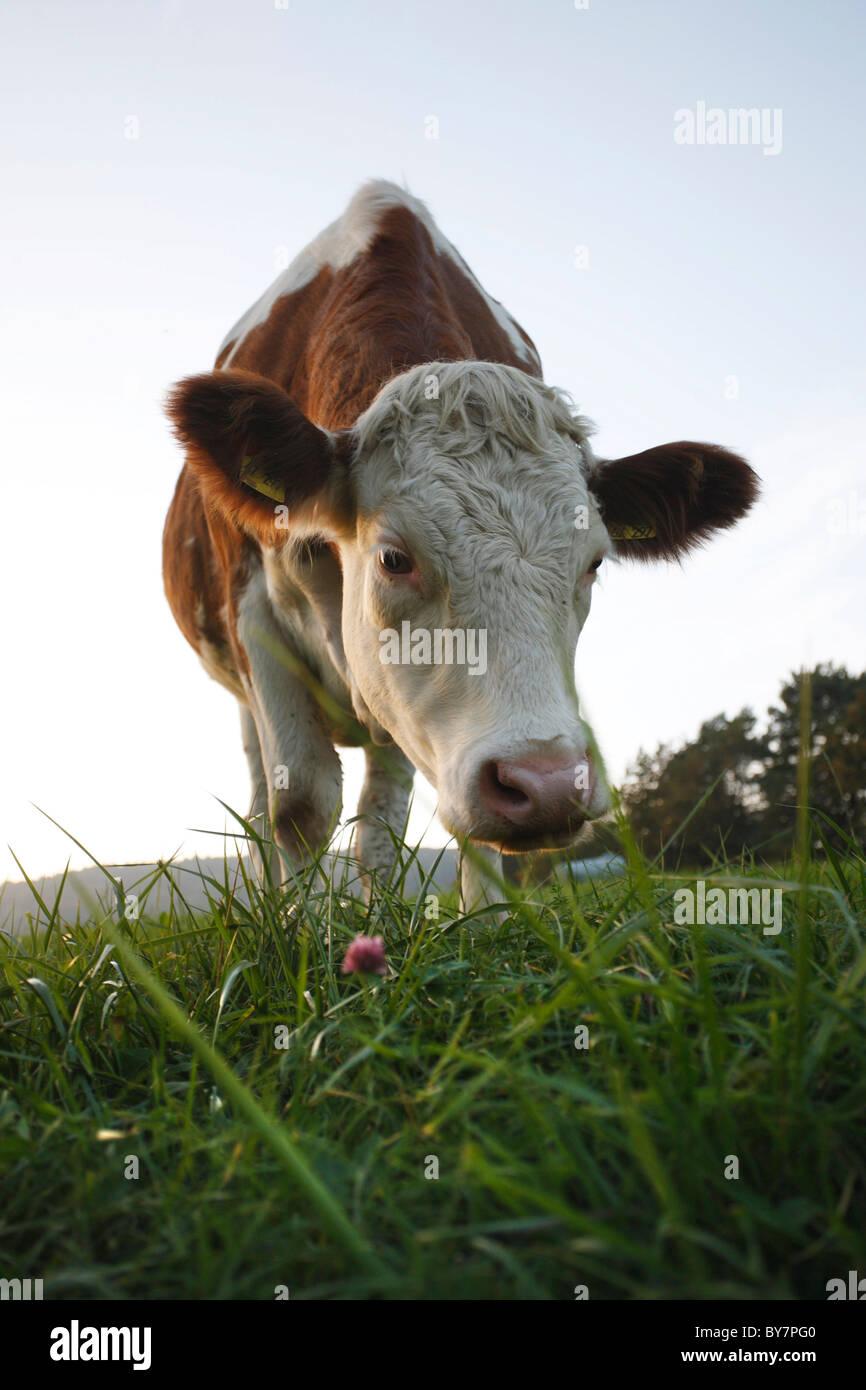 Deutschland, 20101015, Tierhaltung© Gerhard Leber Stock Photo