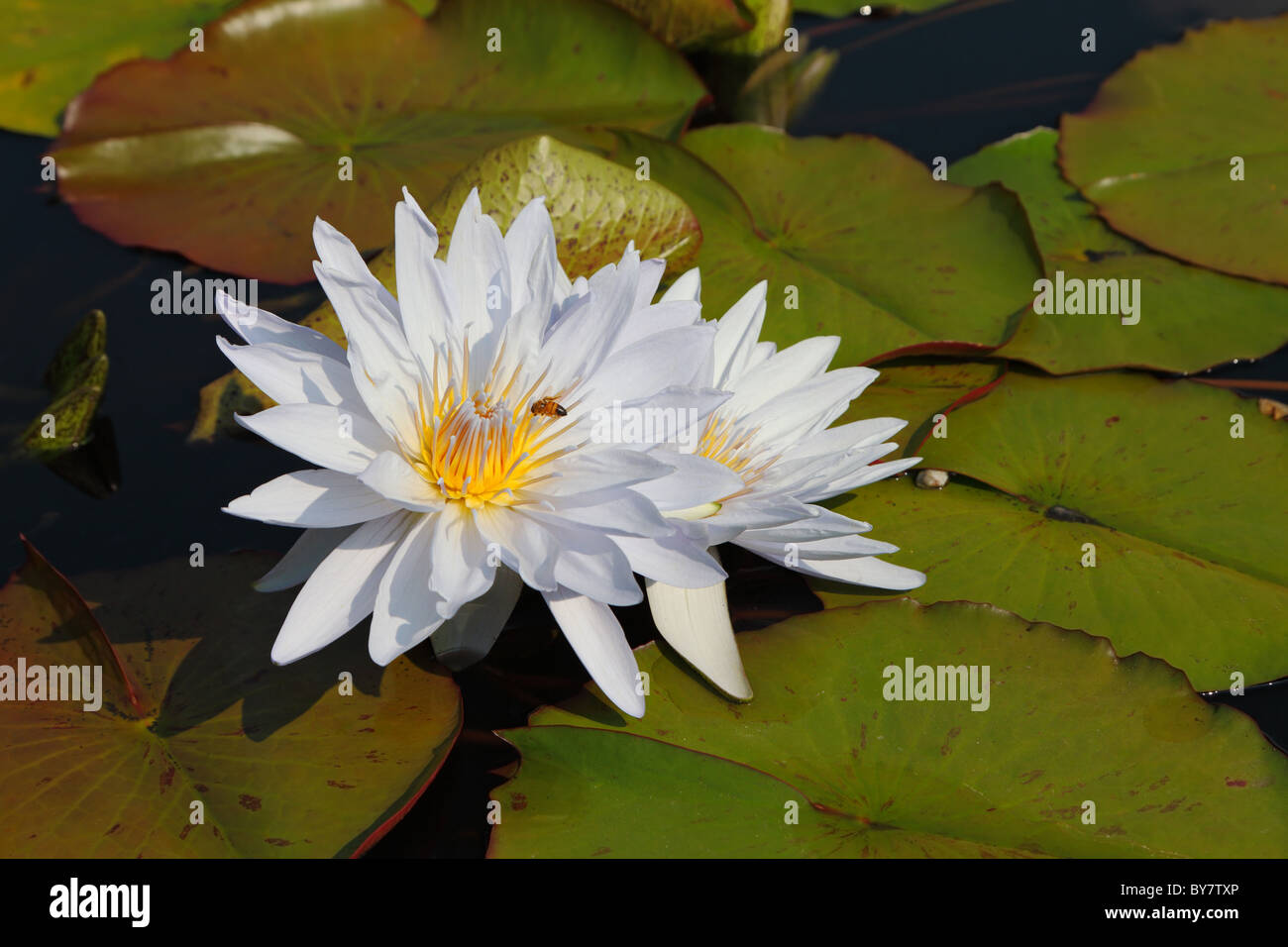 Two white water lilies in large coriaceous leaves on a sunny day Stock Photo